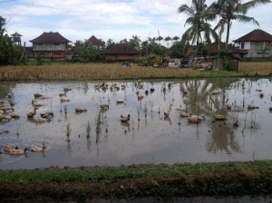 Ubud ducks
