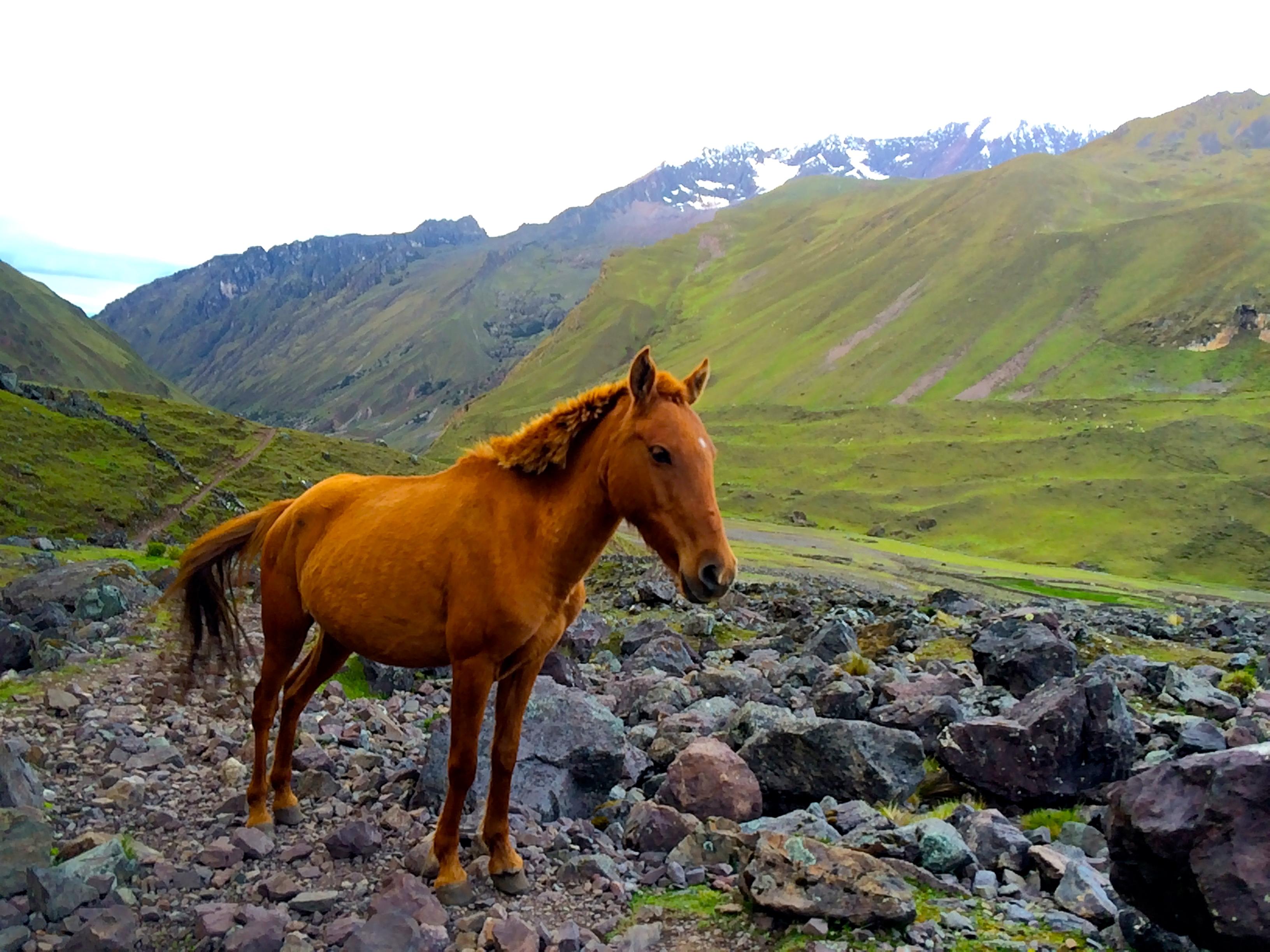Lares horse