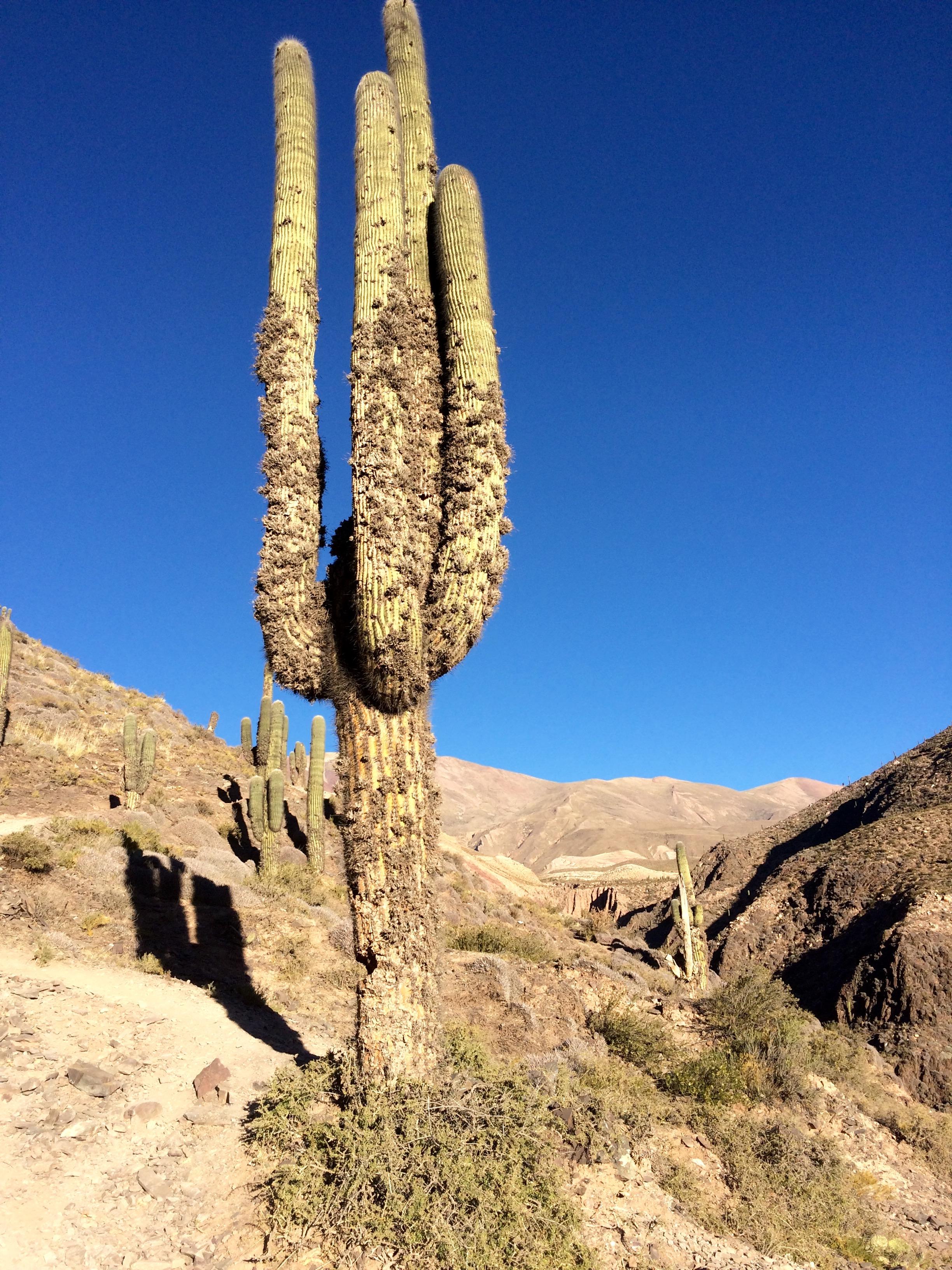 Devil's throat cactus